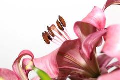 μακρο ροζ κρίνων Στοκ φωτογραφία με δικαίωμα ελεύθερης χρήσης