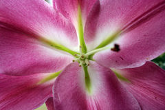 μακρο ροζ λουλουδιών στοκ φωτογραφία με δικαίωμα ελεύθερης χρήσης