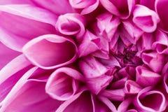 μακρο ροζ νταλιών Στοκ Φωτογραφίες