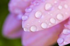 μακρο ροζ gerbera στοκ φωτογραφία με δικαίωμα ελεύθερης χρήσης
