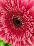 Μακρο ρόδινο σκιασμένο λουλούδι στοκ φωτογραφία με δικαίωμα ελεύθερης χρήσης