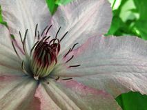 Μακρο ρόδινο λουλούδι αμπέλων Clematis στοκ φωτογραφία