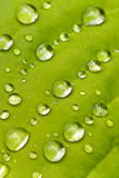 μακρο σταγόνες βροχής φύλλων hosta Στοκ εικόνες με δικαίωμα ελεύθερης χρήσης