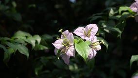 Μακρο στενός επάνω λουλουδιών Bougainvillea στη φύση απόθεμα βίντεο