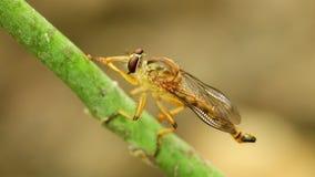 Μακρο στενός επάνω στήριξης καθαρισμού ληστών σκαρφαλωμένος μύγα φιλμ μικρού μήκους
