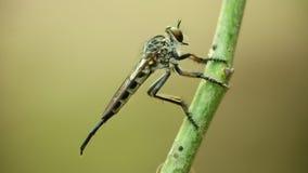 Μακρο στενός επάνω στήριξης ληστών σκαρφαλωμένος μύγα απόθεμα βίντεο