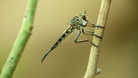 Μακρο στενός επάνω στήριξης ληστών σκαρφαλωμένος μύγα hd φιλμ μικρού μήκους
