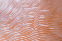 Μακρο στενός επάνω του djamor Pleurotus είναι όμορφο ροζ χρώματος μανιταριών Στοκ εικόνες με δικαίωμα ελεύθερης χρήσης