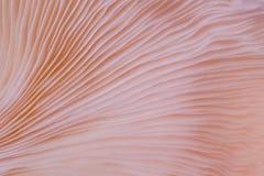 Μακρο στενός επάνω υποβάθρου του djamor Pleurotus είναι όμορφο ροζ χρώματος μανιταριών Στοκ φωτογραφία με δικαίωμα ελεύθερης χρήσης
