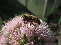 Μακρο συνεδρίαση μελισσών στο ανοικτό ροζ λουλούδι Στοκ εικόνες με δικαίωμα ελεύθερης χρήσης