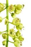 μακρο σφένδαμνος λουλ&omicr Στοκ Φωτογραφία