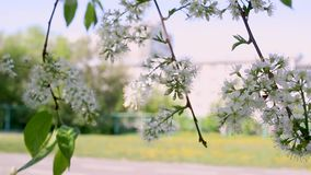 Μακρο τηλεοπτική μαγνητοσκόπησης κινηματογράφηση σε πρώτο πλάνο ανθών μήλων κινήσεων ανθίζοντας από τον αέρα φιλμ μικρού μήκους