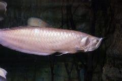 Μακρο υποβρύχια ψάρια Στοκ Φωτογραφίες