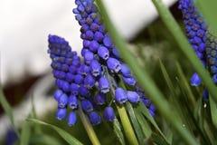 Μακρο φρέσκα βαθιά μπλε άγρια λουλούδια άνοιξη στοκ εικόνες