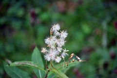 Μακρο φωτογραφία Άσπρο δασικό λουλούδι φθινοπώρου Στοκ φωτογραφία με δικαίωμα ελεύθερης χρήσης
