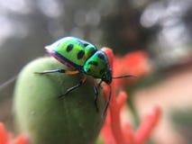 Μακρο φωτογραφία, έντομα, Scutelleridae, ζωύφιο κοσμημάτων, μακροεντολή στοκ φωτογραφία με δικαίωμα ελεύθερης χρήσης