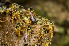 Μακρο φωτογραφία αποικιών μελισσών Jataà - angustula Tetragonisca μελισσών Στοκ φωτογραφίες με δικαίωμα ελεύθερης χρήσης