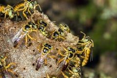 Μακρο φωτογραφία αποικιών μελισσών Jataà - angustula Tetragonisca μελισσών Στοκ Εικόνα