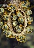Μακρο φωτογραφία αποικιών μελισσών Jataà - angustula Tetragonisca μελισσών Στοκ εικόνα με δικαίωμα ελεύθερης χρήσης