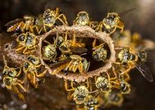 Μακρο φωτογραφία αποικιών μελισσών Jataà - angustula Tetragonisca μελισσών Στοκ εικόνες με δικαίωμα ελεύθερης χρήσης