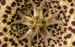 Μακρο φωτογραφία ενός ασυνήθιστου λουλουδιού κάκτων για ένα υπόβαθρο ή μια σύσταση Στοκ Φωτογραφία