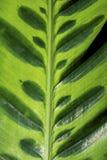 Μακρο φωτογραφία ενός βεραμάν τροπικού φύλλου φυτού Στοκ Φωτογραφία