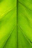 Μακρο φωτογραφία ενός βεραμάν τροπικού φύλλου φυτού Στοκ εικόνα με δικαίωμα ελεύθερης χρήσης