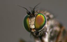 Μακρο φωτογραφία ενός εντόμου, μια μύγα Dolichopodidae Στοκ εικόνες με δικαίωμα ελεύθερης χρήσης
