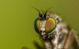 Μακρο φωτογραφία ενός εντόμου, μια μύγα Dolichopodidae Στοκ Εικόνα