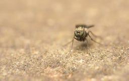 Μακρο φωτογραφία ενός εντόμου, μια μύγα Dolichopodidae Στοκ Εικόνες