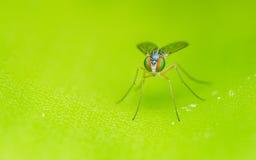 Μακρο φωτογραφία ενός εντόμου, μια μύγα Dolichopodidae Στοκ φωτογραφίες με δικαίωμα ελεύθερης χρήσης