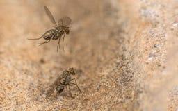 Μακρο φωτογραφία ενός εντόμου, μια μύγα Dolichopodidae Στοκ φωτογραφία με δικαίωμα ελεύθερης χρήσης