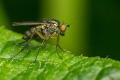 Μακρο φωτογραφία ενός εντόμου, μια μύγα Dolichopodidae Στοκ Φωτογραφία