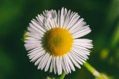 Μακρο φωτογραφία ενός λουλουδιού μιας camomile φαρμακείων κινηματογράφησης σε πρώτο πλάνο Στοκ Εικόνες