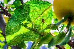 Μακρο φωτογραφία ενός μικρού μήλου με μια αράχνη στοκ φωτογραφία με δικαίωμα ελεύθερης χρήσης