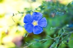 Μακρο φωτογραφία ενός μπλε λουλουδιού τομέων στοκ φωτογραφία με δικαίωμα ελεύθερης χρήσης