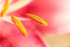 Μακρο φωτογραφία ενός τεμαχίου του ρόδινου λουλουδιού κρίνων με το foc Στοκ φωτογραφία με δικαίωμα ελεύθερης χρήσης