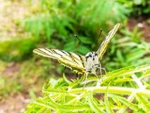 Μακρο φωτογραφία ενός podalirius Iphiclides πεταλούδων που στηρίζεται σε ένα φύλλο Στοκ φωτογραφία με δικαίωμα ελεύθερης χρήσης