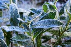 Μακρο φωτογραφία καλυμμένα φύλλα παγετού Στοκ εικόνες με δικαίωμα ελεύθερης χρήσης