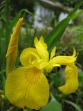 Μακρο φωτογραφία με ίριδες λουλουδιών τις διακοσμητικές σύστασης υποβάθρου όμορφες κίτρινες ελατηρίων Στοκ εικόνες με δικαίωμα ελεύθερης χρήσης