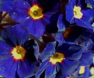 Μακρο φωτογραφία με διακοσμητικό υποβάθρου primrose χρωμάτων σύστασης φωτεινό όμορφο χλοώδες με τα μπλε πέταλα Στοκ εικόνα με δικαίωμα ελεύθερης χρήσης
