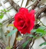Μακρο φωτογραφία με μια διακοσμητική σύσταση υποβάθρου ανάμεικτων κόκκινων τριαντάφυλλων του Μπους των όμορφων λουλουδιών Στοκ φωτογραφία με δικαίωμα ελεύθερης χρήσης