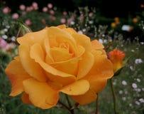 Μακρο φωτογραφία με τα όμορφα κυλημένα λουλούδι τριαντάφυλλα τη λεπτή κρέμα πετάλων που χρωματίζεται με Στοκ Φωτογραφία