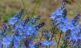 Μακρο φωτογραφία με τη διακοσμητική σύσταση υποβάθρου των άγριων δασικών λουλουδιών με τα λεπτά μπλε πέταλα Στοκ Εικόνα
