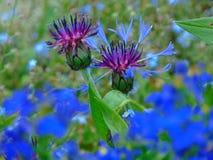 Μακρο φωτογραφία με τη διακοσμητική σύσταση υποβάθρου των άγριων δασικών λουλουδιών με τα λεπτά μπλε πέταλα Στοκ φωτογραφία με δικαίωμα ελεύθερης χρήσης