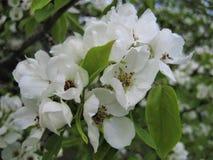 Μακρο φωτογραφία με τη διακοσμητική σύσταση υποβάθρου των άσπρων λεπτών πετάλων των λουλουδιών στον κλάδο του οπωρωφόρου δέντρου  Στοκ φωτογραφίες με δικαίωμα ελεύθερης χρήσης