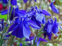 Μακρο φωτογραφία με τη διακοσμητική σύσταση υποβάθρου των όμορφων λουλουδιών των ποωδών εγκαταστάσεων Aquilegia Στοκ Εικόνα