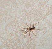 Μακρο φωτογραφία μιας εναέριας άποψης μιας μικρής αράχνης σάκων που τρέχει πέρα από ένα άσπρο πάτωμα Στοκ Εικόνες
