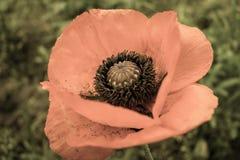 Μακρο φωτογραφία μιας επίδρασης λουλουδιών παπαρουνών Στοκ εικόνες με δικαίωμα ελεύθερης χρήσης