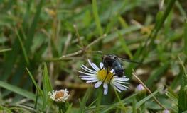 Μακρο φωτογραφία μιας κοινής μύγας σπιτιών που έχει προσγειωθεί σε ένα μικρό wildflower Στοκ Εικόνες